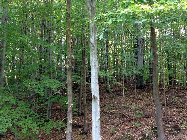 Bieganie po lesie Grodzisko Gołężyców