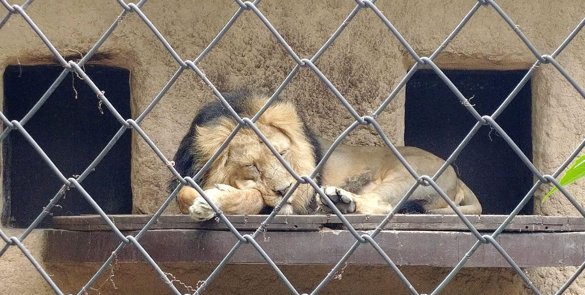 lew śpi w ZOO Ostrava