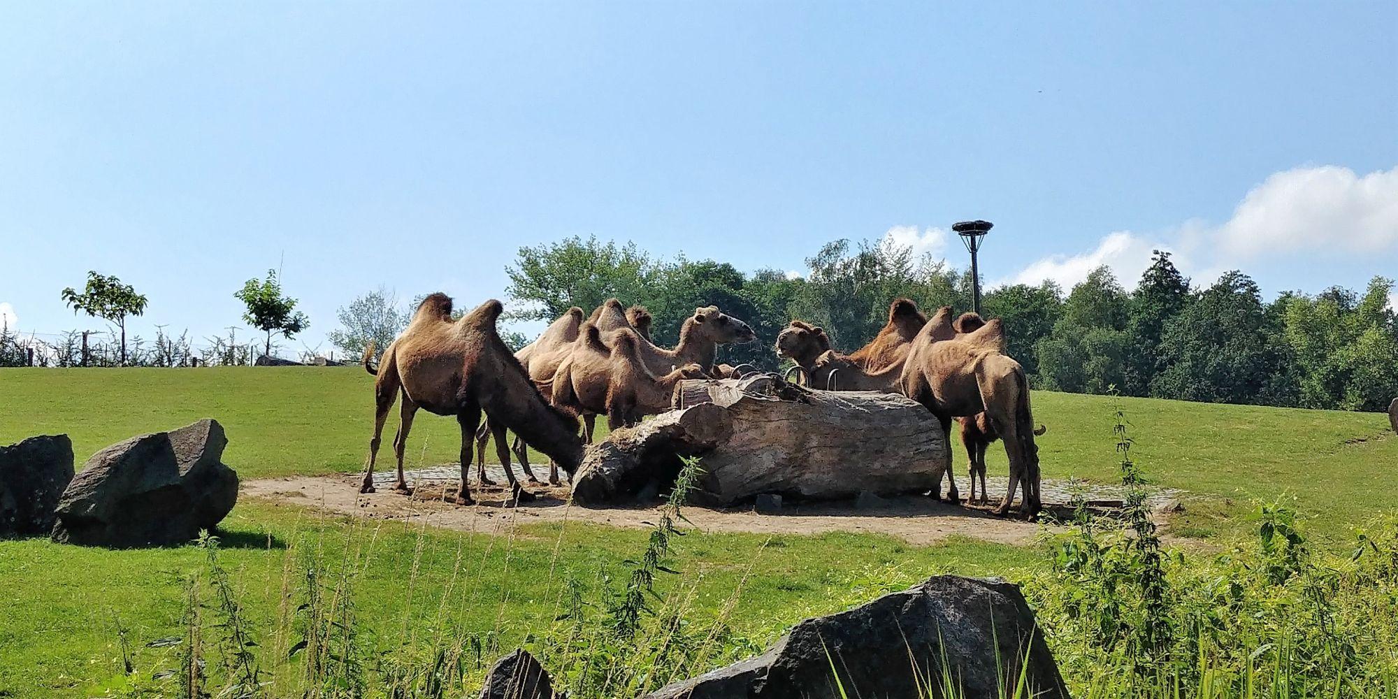 wielbłądy w ZOO Ostrava
