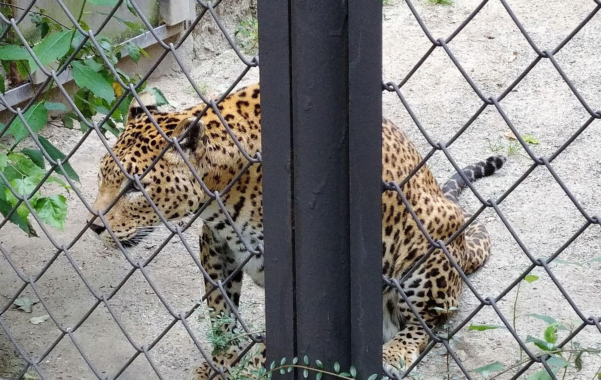 gepard wkurzony w ZOO Ostrava