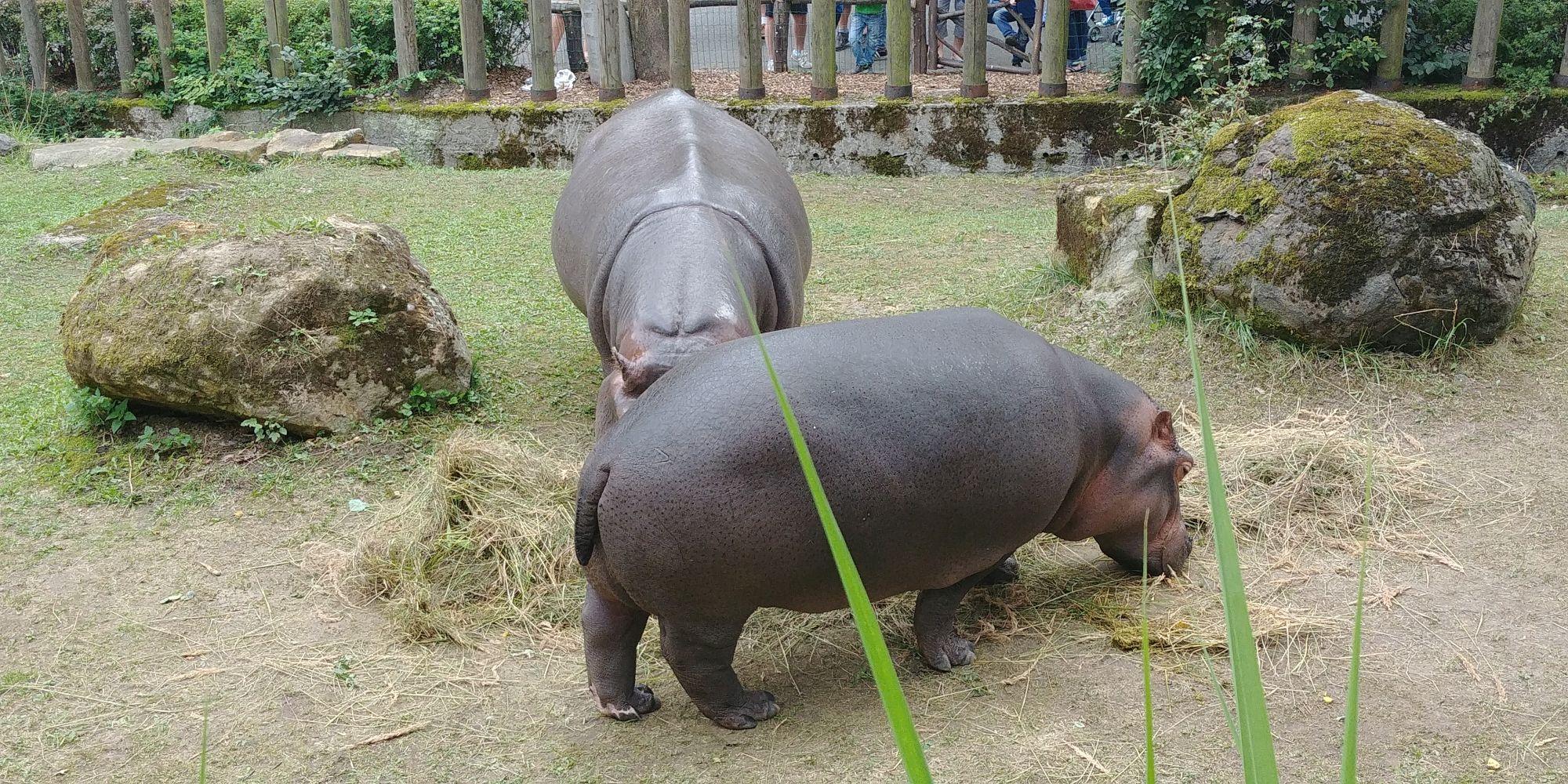 hipopotamy w ZOO Ostrava