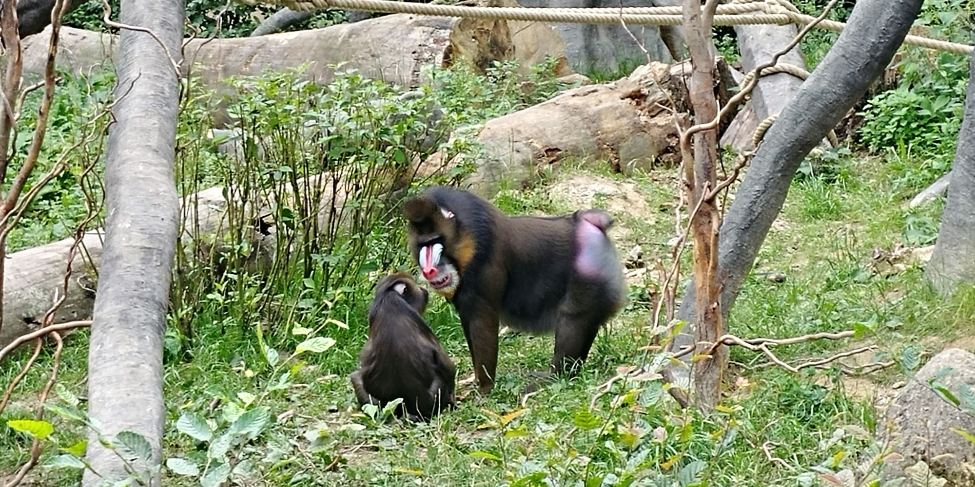 małpy wybieg