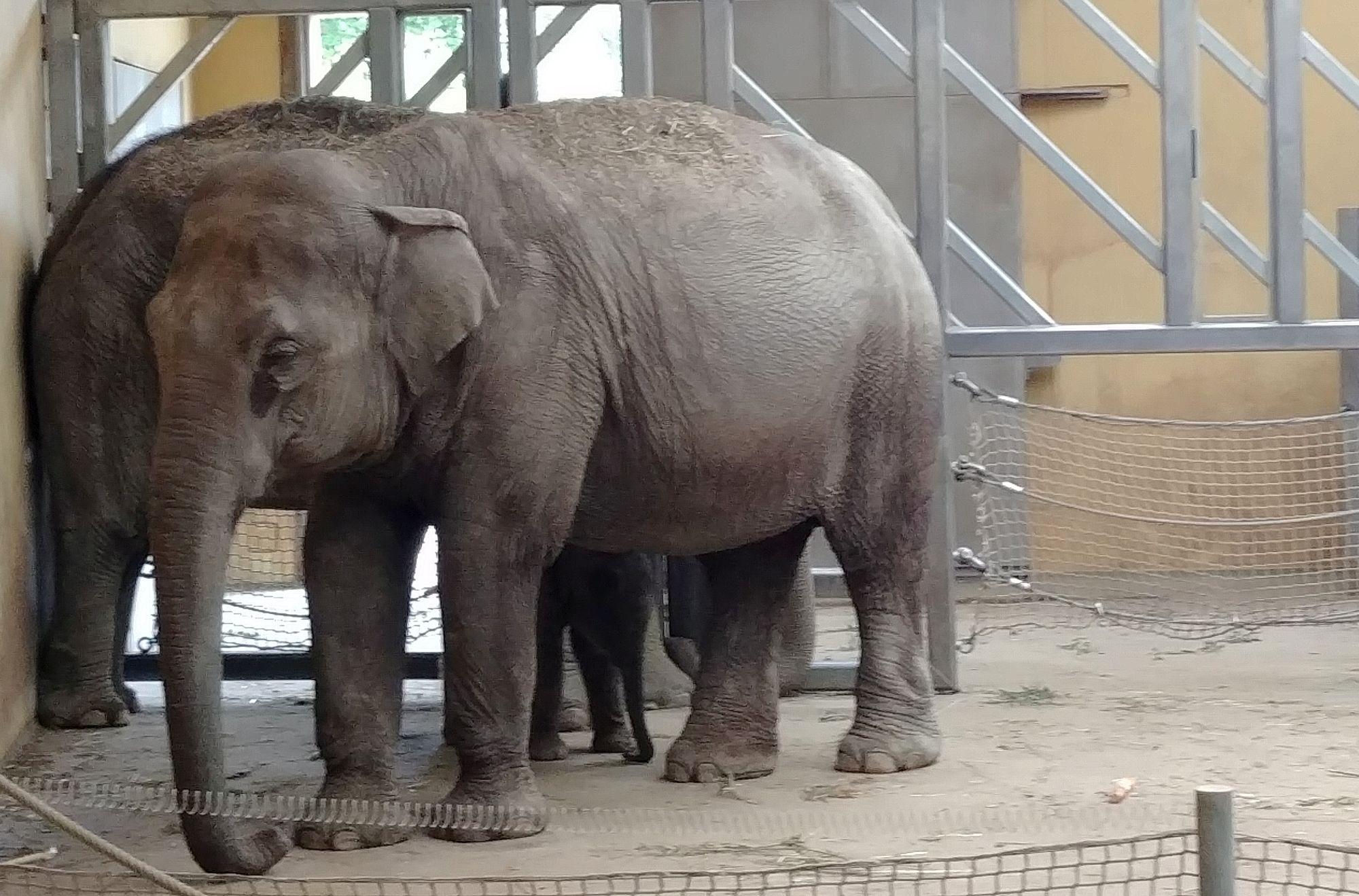 słonie zoo Ostrava