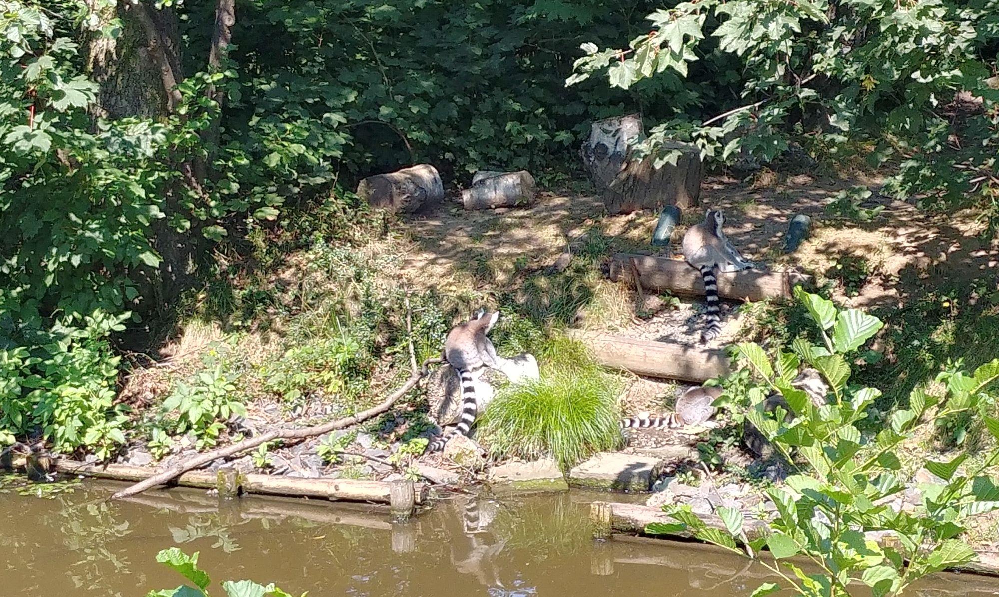 wyspa lemurów w ZOO Ostrava