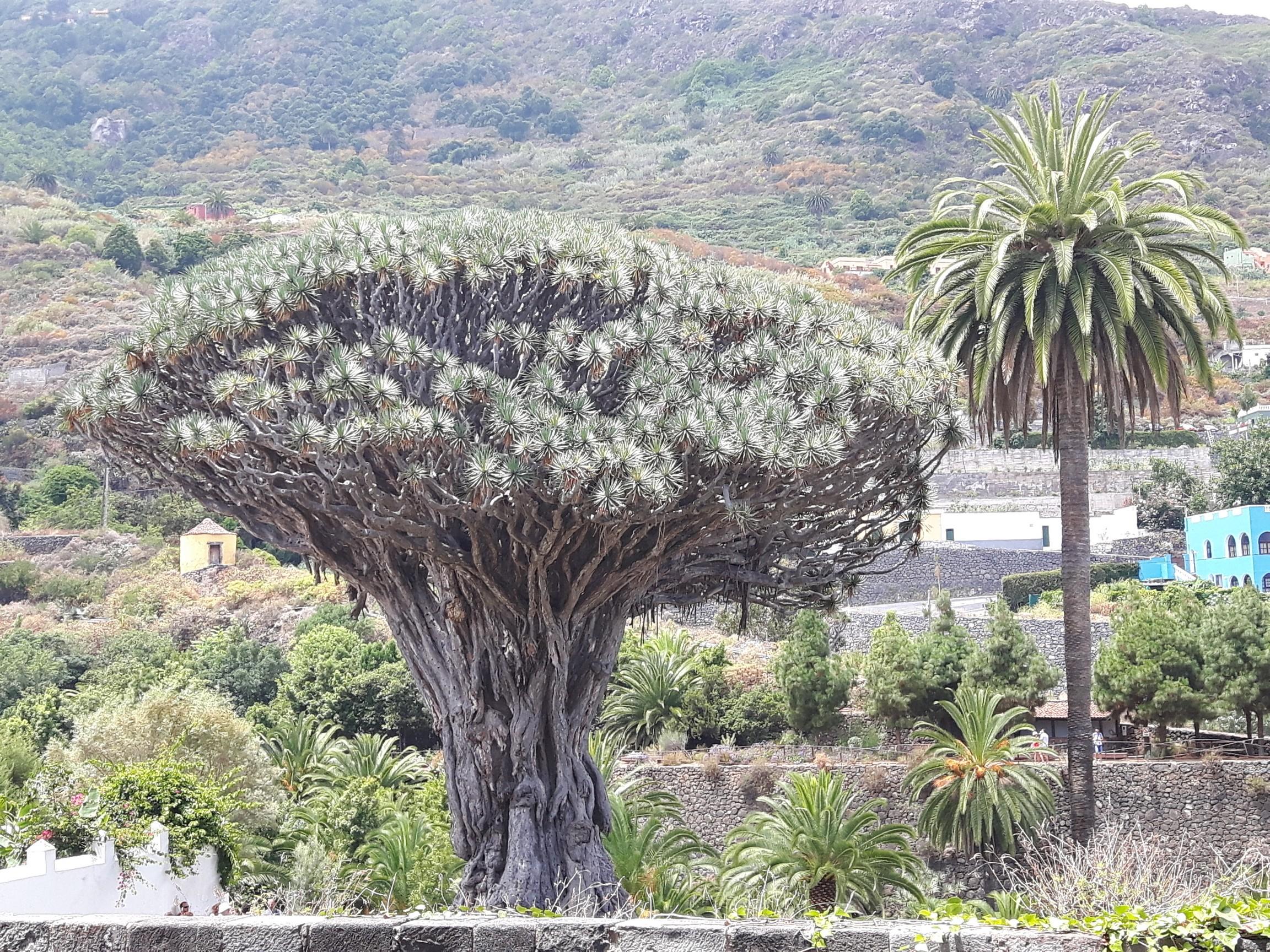 Drzewo Smocze Drago Milenario
